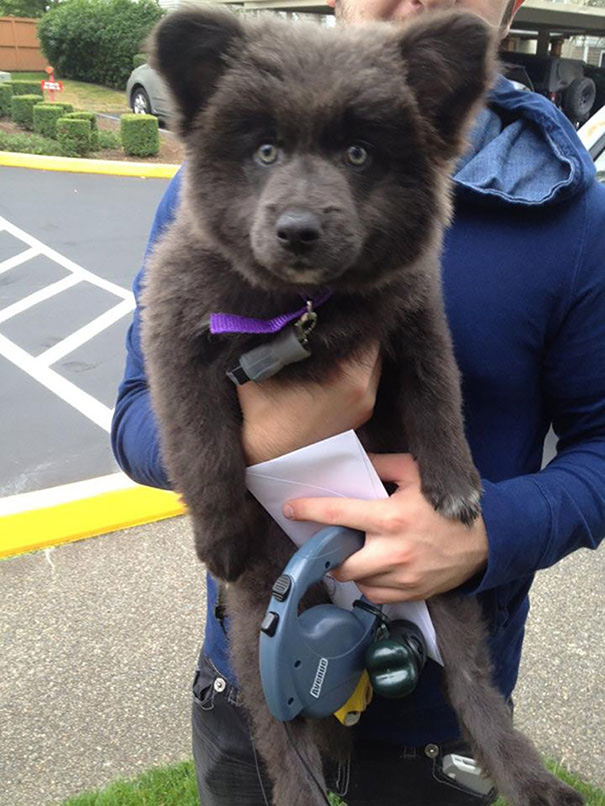 Dogs That Look Like Teddy Bears (1)