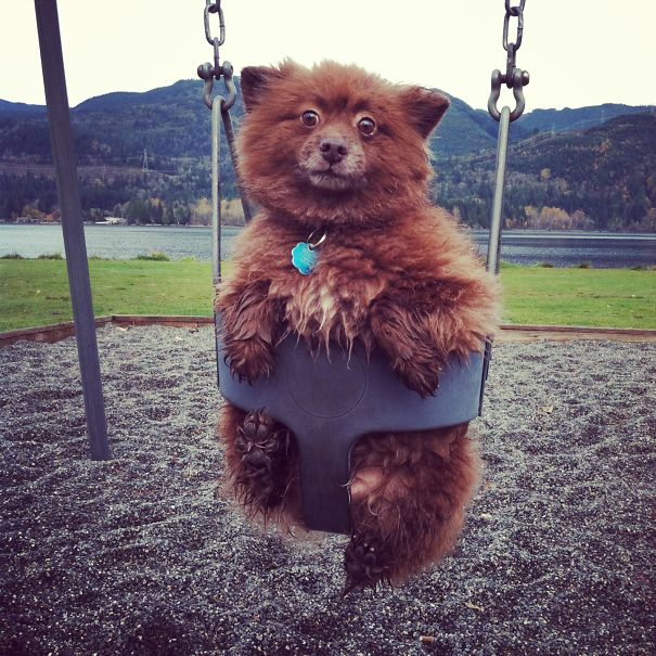 Dogs That Look Like Teddy Bears (12)