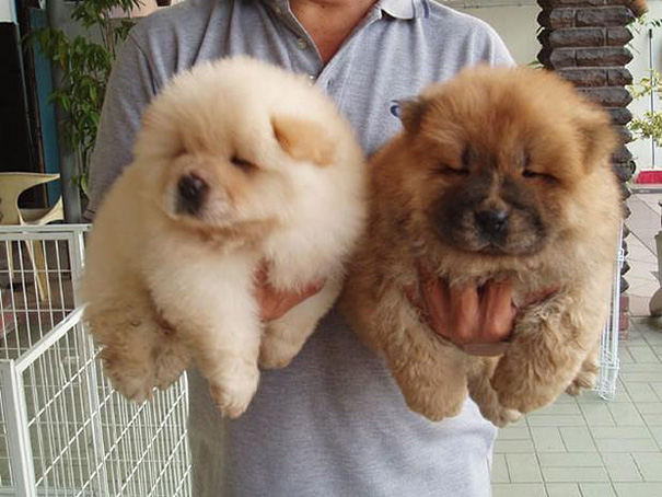 Dogs That Look Like Teddy Bears (13)