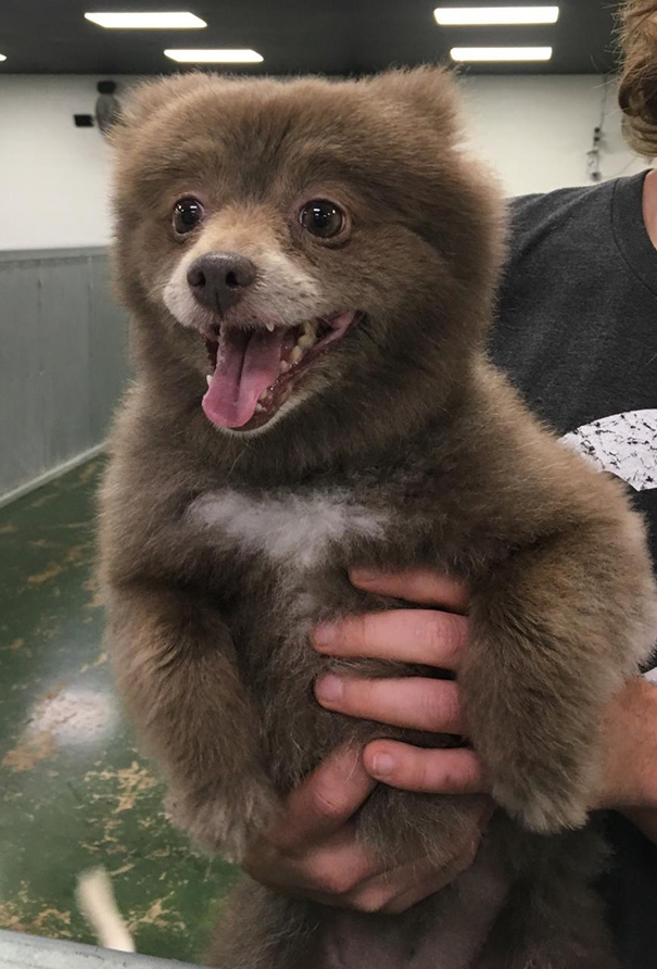 Dogs That Look Like Teddy Bears (4)