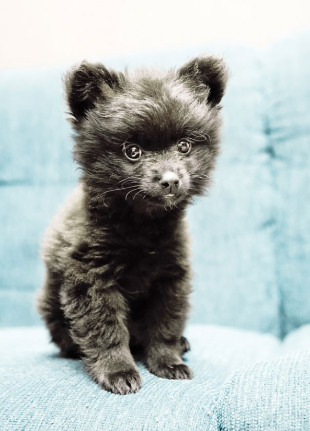 Dogs That Look Like Teddy Bears (7)