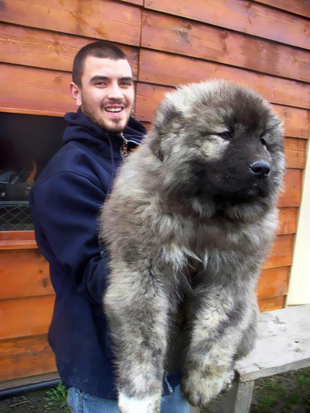 Dogs That Look Like Teddy Bears (8)