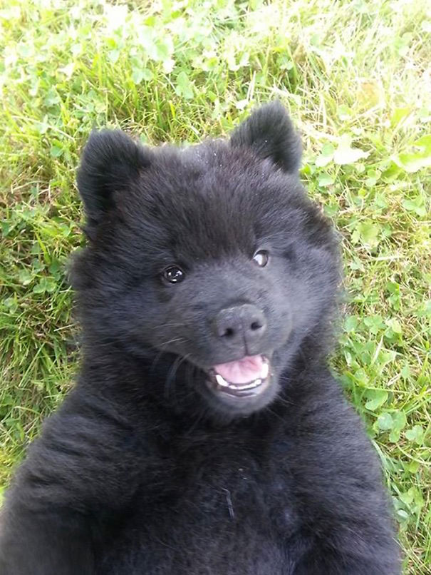 Dogs That Look Like Teddy Bears (9)