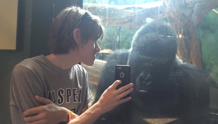 He showed a gorilla photos of other gorillas on his phone.