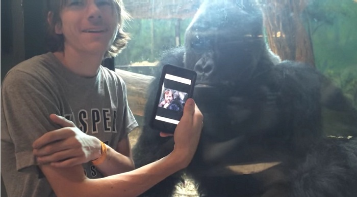 He showed a gorilla photos of other gorillas on his phone. 2