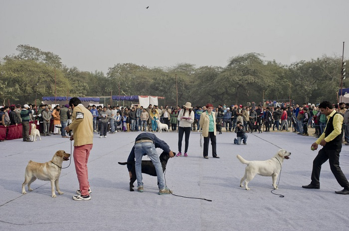 Labradors at the Delhi Dog Show