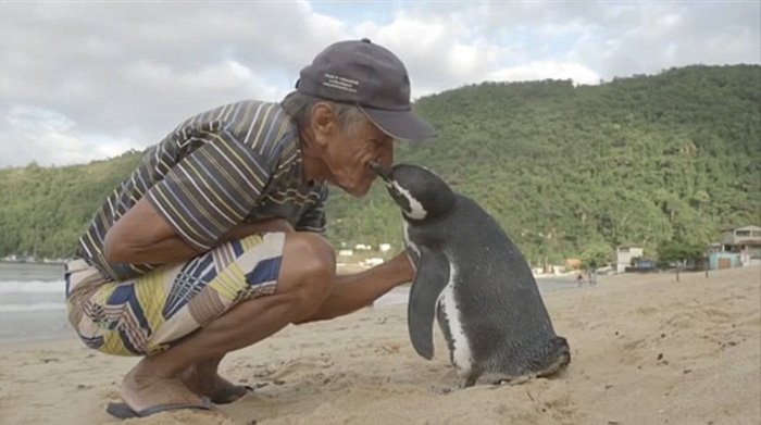 Penguin Swims 8,000KM (1)
