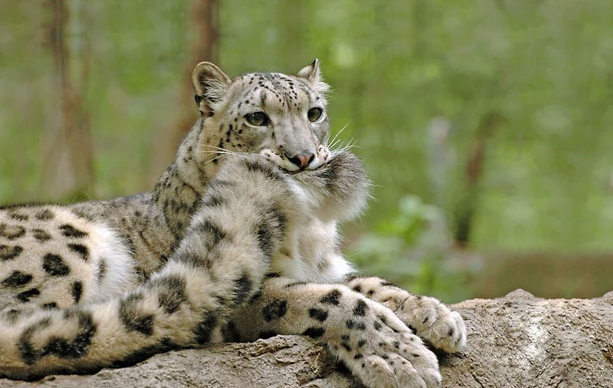 Snow Leopards (1)
