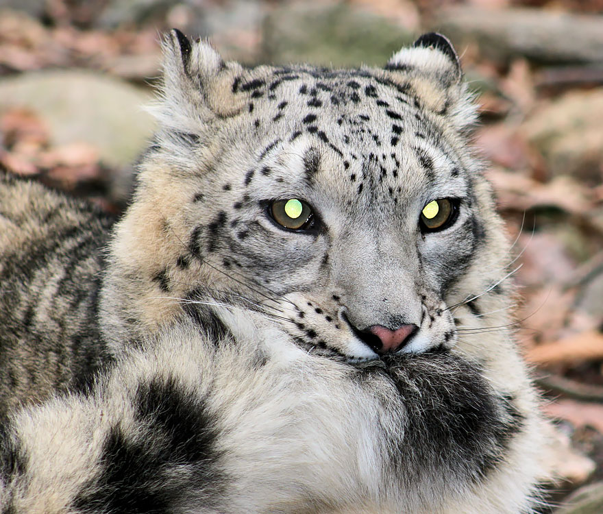 Snow Leopards (12)