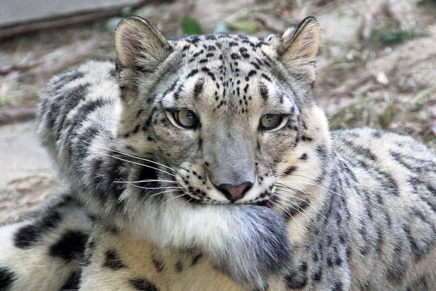 Snow Leopards (2)
