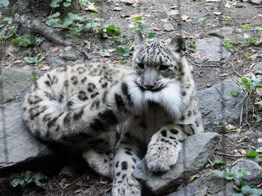 Snow Leopards (4)