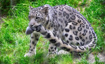 Snow Leopards (5)