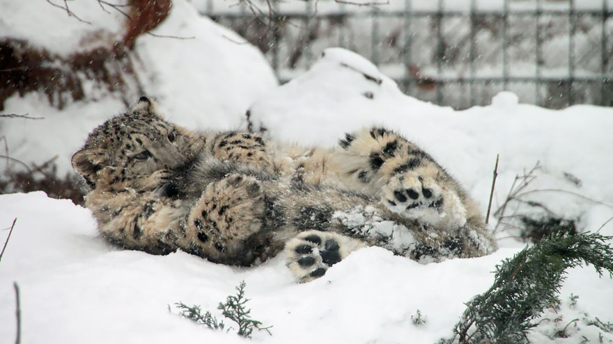 Snow Leopards (6)