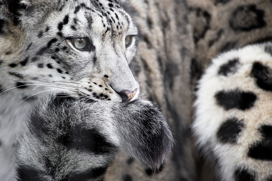 Snow Leopards (9)