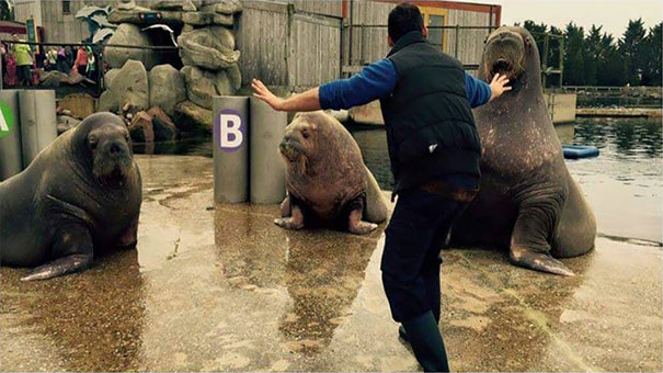 The famous raptor taming scene in Jurassic World copied with seals