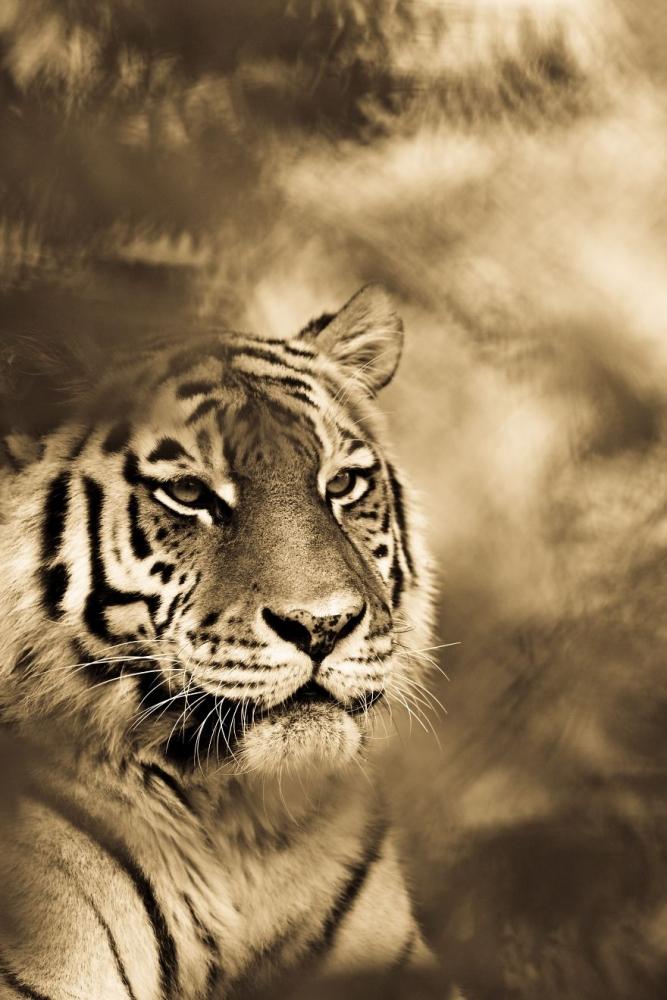 big wild cats (12)