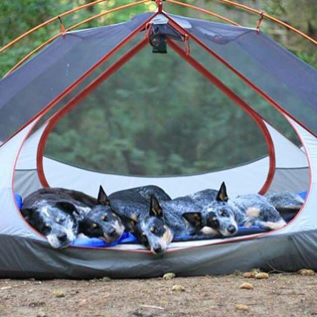 camping with dogs tent