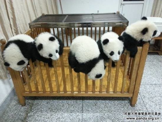 pandas in the cot
