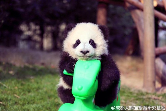 pandas with the swing