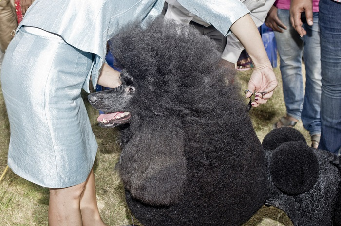 the giant poodle
